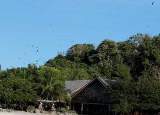 ค้างคาวบินกลับบ้าน ค้างคาวที่นี่ต้วใหญ่เท่านกเอี้ยงเลย photo by Oiewong