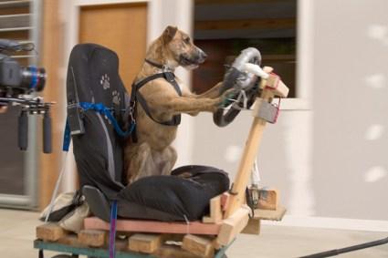 driving dogs สอนน้องหมาขับรถ 16 - cars