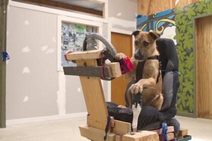 dogs mini04 425x283 driving dogs สอนน้องหมาขับรถ