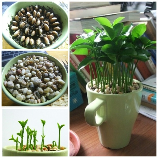 DIY ปลูกต้นมะนาวเล็กๆ..สร้างกลิ่นสีจากธรรมชาติประดับโต๊ะ 13 -