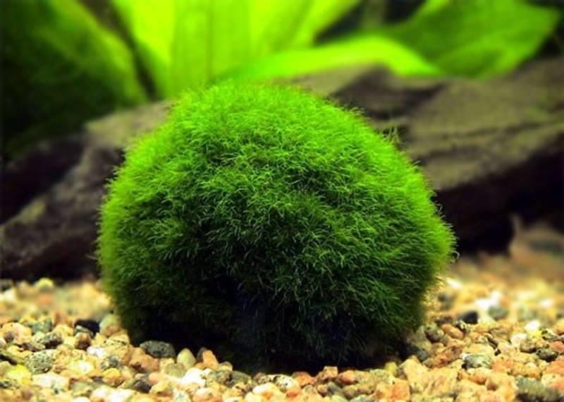 66983 195781510600867 1310908457 n まりも Marimo มาริโมะ (Moss ball)พืชน้ำสุดฮิต