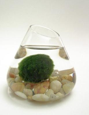 c55c0417cc7c4bc68434990320cef030 まりも Marimo มาริโมะ (Moss ball)พืชน้ำสุดฮิต