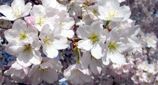 CherryBlossom_Bunch