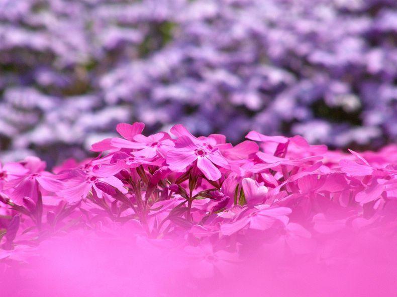 Moss-Pink-01