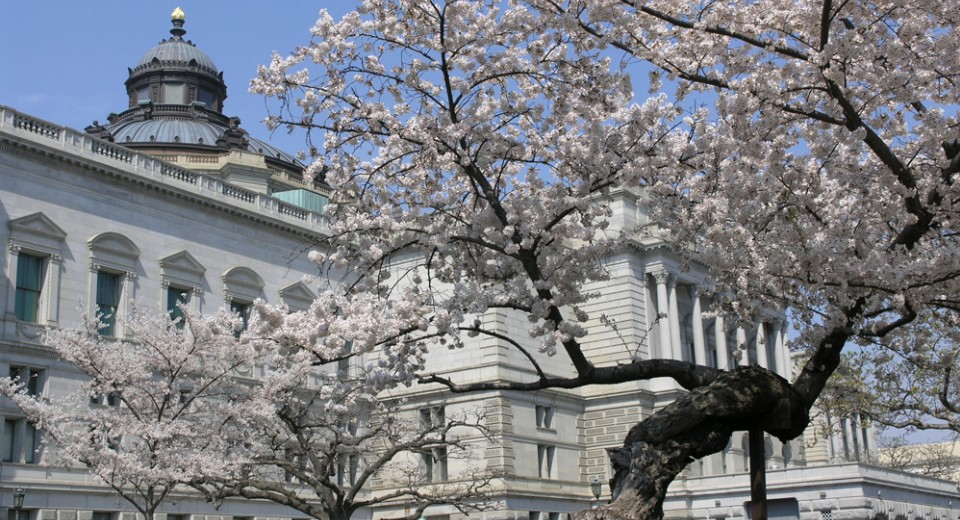 PT CapitolHill 6 Library of Congress cherry bloss Credit Michaela McNichol เทศกาลซากุระ National Cherry Blossom Festival
