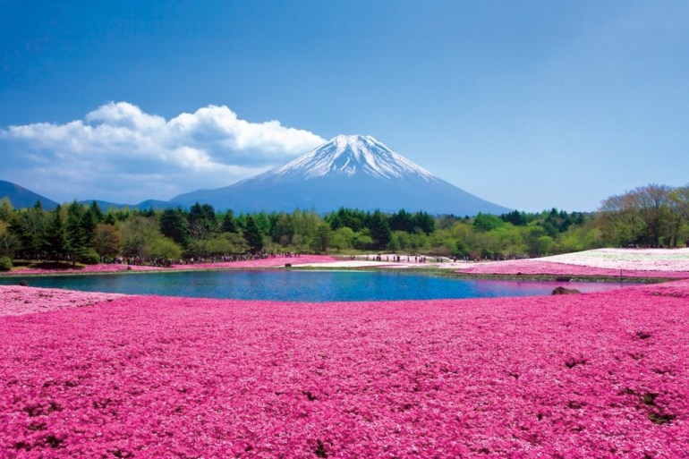 Chiba Sakura ชิบะซากุระ ภูเขาปูพรมสีชมพู 13 - chiba