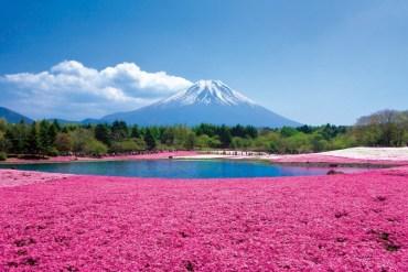 Chiba Sakura ชิบะซากุระ ภูเขาปูพรมสีชมพู 13 - sakura