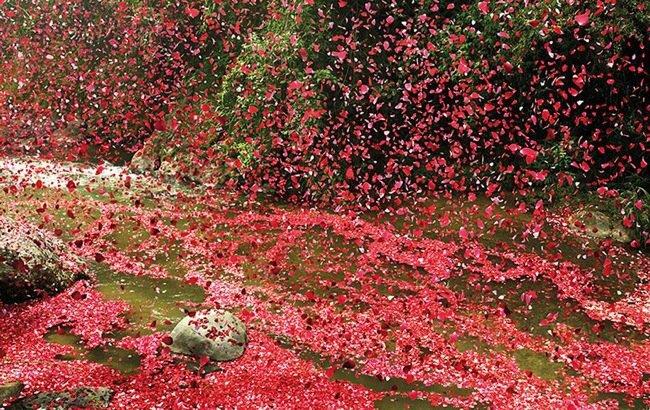 20140501 201900 เมื่อภูเขาไฟระเบิดเป็น 8 ล้านกลีบดอกไม้ ปกคลุมทั่วหมู่บ้านใน Costa Rica