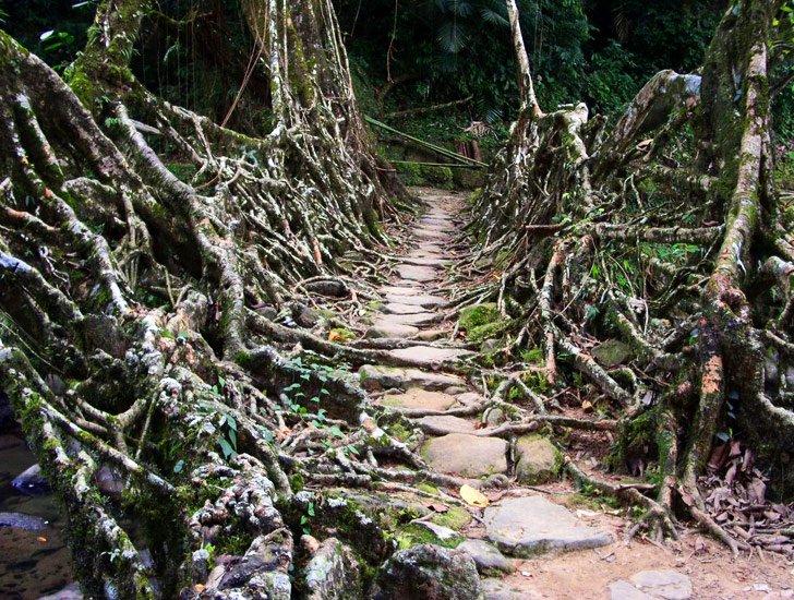สะพานมีชีวิต เกิดจากรากไม้และเถาวัลย์..เป็นวิธีสร้างสะพานจากภูมิปัญญาท้องถิ่นของชาวเขาในอินเดีย 13 - root bridge
