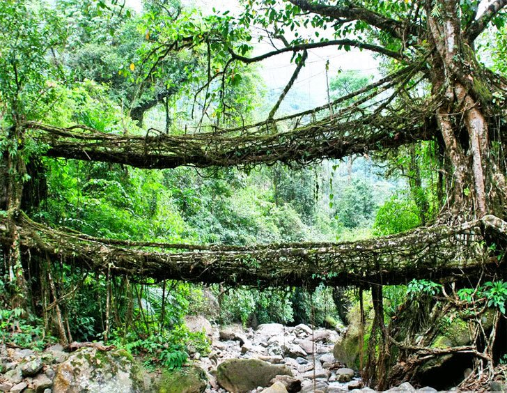 wpid india root bridge สะพานมีชีวิต เกิดจากรากไม้และเถาวัลย์..เป็นวิธีสร้างสะพานจากภูมิปัญญาท้องถิ่นของชาวเขาในอินเดีย