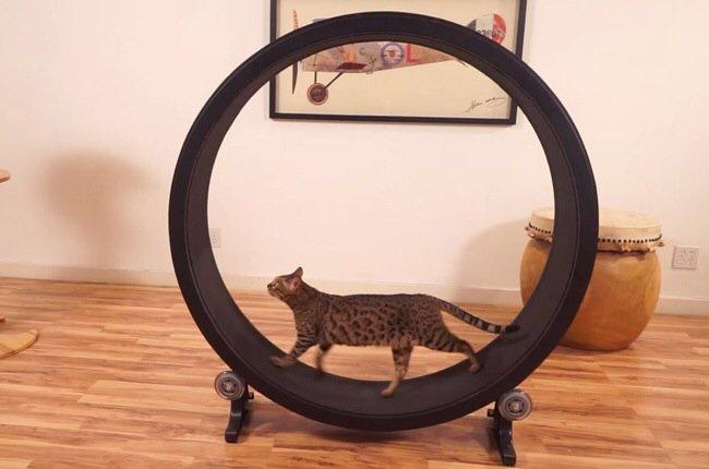 20140722 093742 34662232 One Fast Cat: แมวถีบจักร..เครื่องออกกำลังกายของแมว
