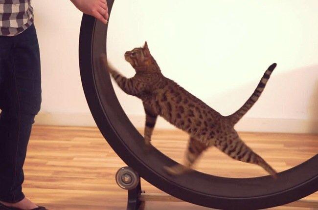 20140722 093742 34662479 One Fast Cat: แมวถีบจักร..เครื่องออกกำลังกายของแมว