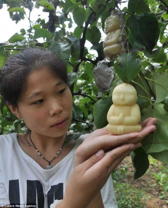 buddha-shaped-pears