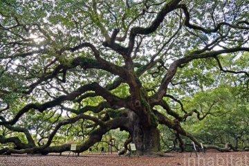 Angel Oak ต้นไม้ดึกดำบรรพ์อายุ1,400ปี ใน South Carolina 19 - forest