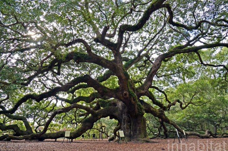 Angel Oak ต้นไม้ดึกดำบรรพ์อายุ1,400ปี ใน South Carolina 16 - forest