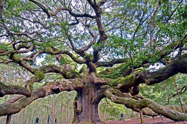IMG 5996 Angel Oak ต้นไม้ดึกดำบรรพ์อายุ1,400ปี ใน South Carolina