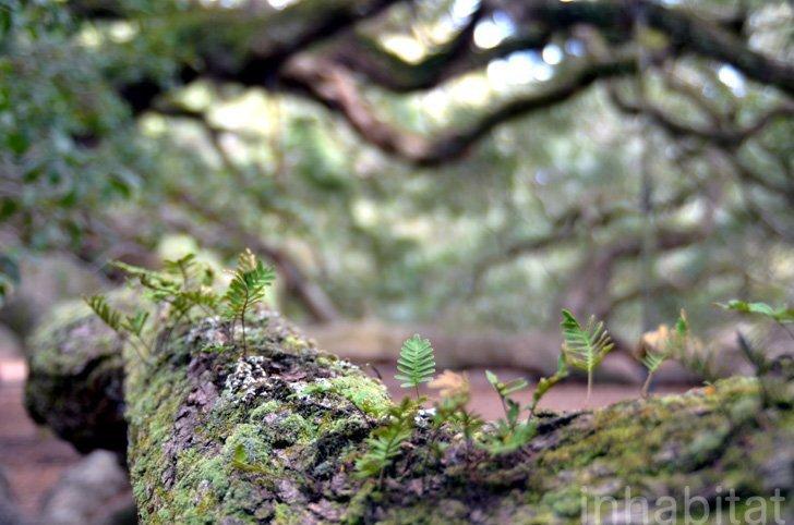 IMG 5999 Angel Oak ต้นไม้ดึกดำบรรพ์อายุ1,400ปี ใน South Carolina