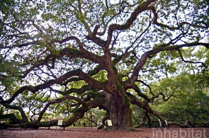 IMG 6004 Angel Oak ต้นไม้ดึกดำบรรพ์อายุ1,400ปี ใน South Carolina