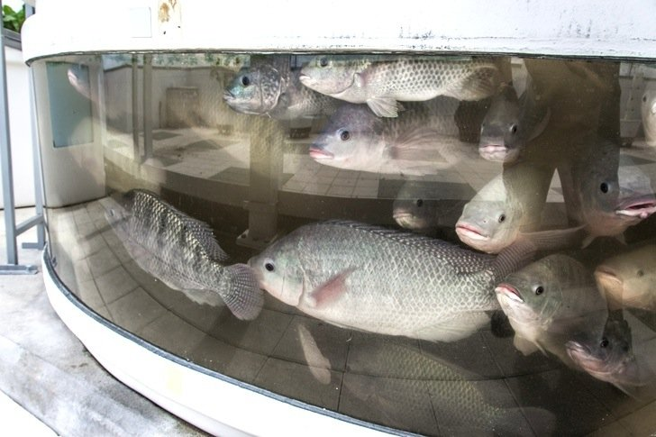 IMG 6713 สวนเกษตรบนหลังคาตึก ปลูกผักด้วยระบบ hydroponics ช่วยบำบัดน้ำเสียในบ่อเลี้ยงปลา