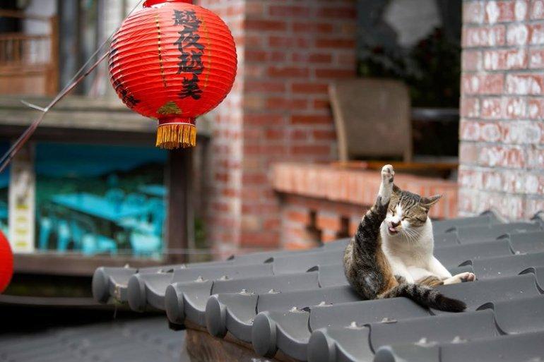 """หมู่บ้านแมวเหมียว """"Houtong Cat Village"""" บนเกาะไต้หวัน 13 - แมว"""
