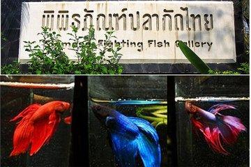 """พิพิธภัณฑ์ปลากัดไทย ตั้งอยู่ในพื้นที่ """"เกาะกระเพาะหมู"""""""