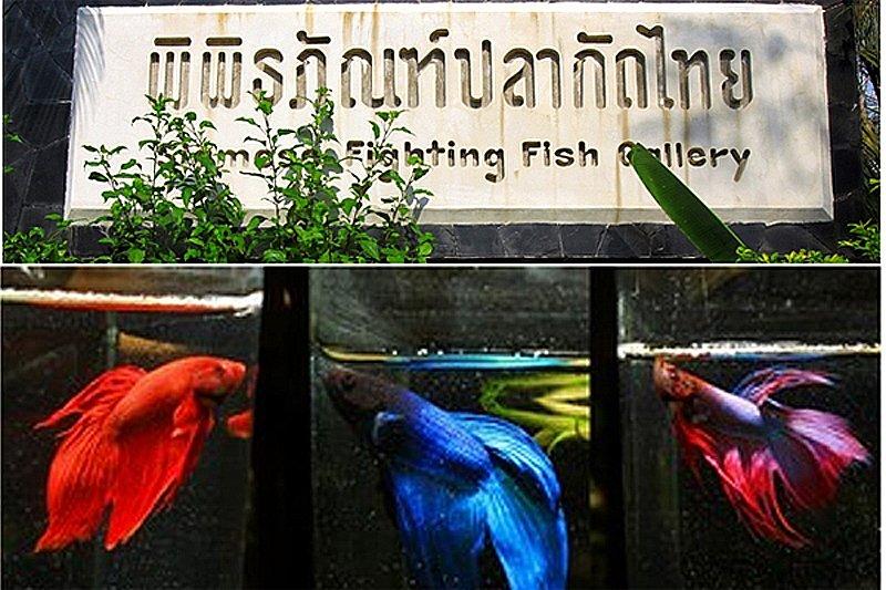 """km 120509161811 พิพิธภัณฑ์ปลากัดไทย ตั้งอยู่ในพื้นที่ """"เกาะกระเพาะหมู"""""""
