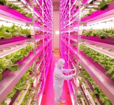 สวนผักภายในอาคารที่ใหญ่ที่สุดในโลก ปลูกผักกาดได้วันละ10,000หัว 24 - Farm
