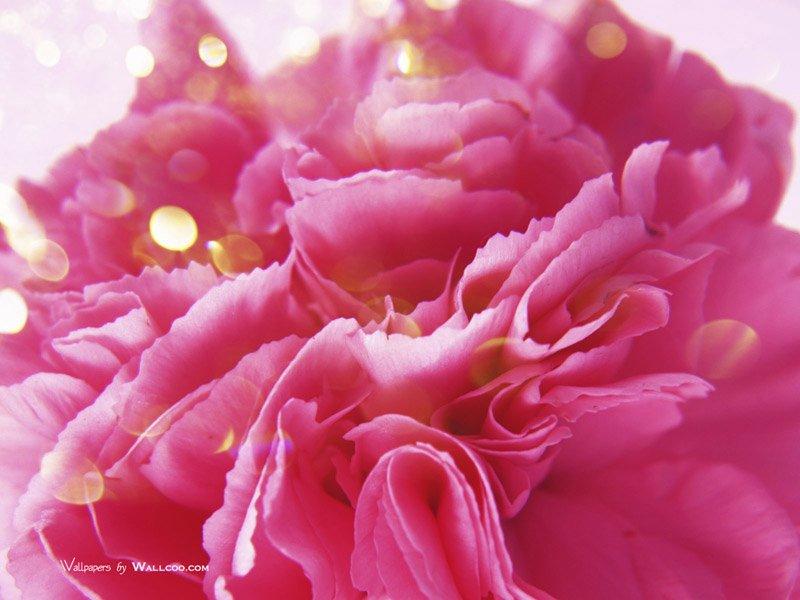 Carnation_flower_photo_HS085_350Acc