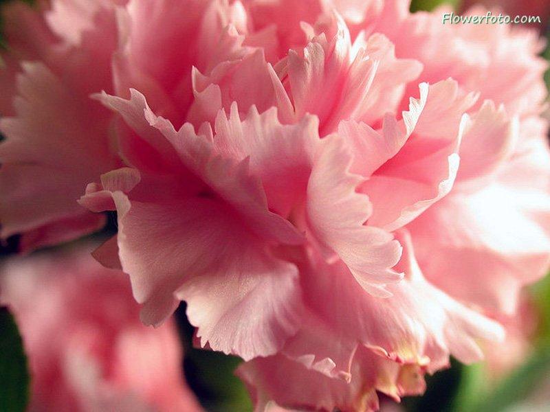 carnationflower242
