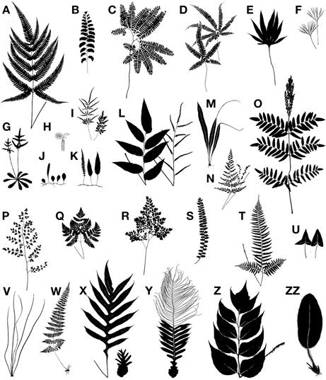 """ทำความรู้จัก """"เฟินต้นสีเงิน"""" ต้นไม้นำทางชาวเผ่าเมารี สัญลักษณ์ประเทศนิวซีแลนด์ 16 - ต้นเฟินสีเงิน"""