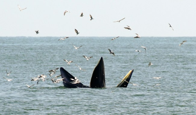 Bryde06 650x382 ล่องเรือชม วาฬบรูด้า สัตว์ป่าสงวนลำดับที่ 16 สัตว์ประจำถิ่นอ่าวไทย