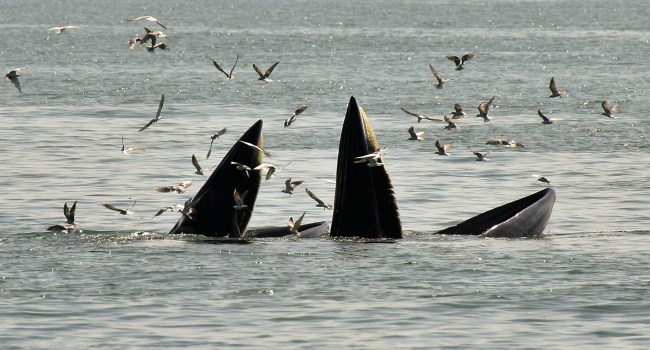 Bryde10 650x350 ล่องเรือชม วาฬบรูด้า สัตว์ป่าสงวนลำดับที่ 16 สัตว์ประจำถิ่นอ่าวไทย