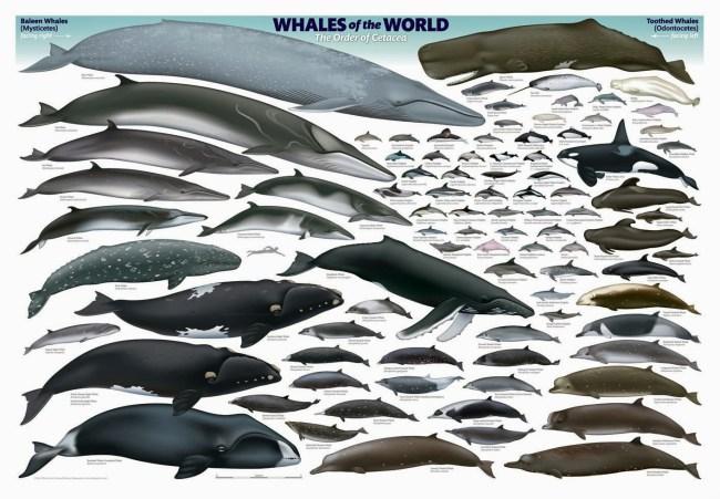 whale 650x451 ล่องเรือชม วาฬบรูด้า สัตว์ป่าสงวนลำดับที่ 16 สัตว์ประจำถิ่นอ่าวไทย