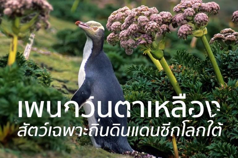 ชมนกเพนกวินตาเหลือง ที่นิวซีแลนด์ สัตว์เฉพาะถิ่นของดินแดนซีกโลกใต้ 13 - GREENERY