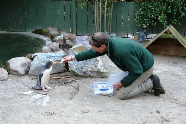 penguin2 750x500 ชมนกเพนกวินตาเหลือง ที่นิวซีแลนด์ สัตว์เฉพาะถิ่นของดินแดนซีกโลกใต้