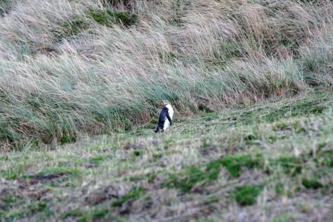 penguin9 750x500 ชมนกเพนกวินตาเหลือง ที่นิวซีแลนด์ สัตว์เฉพาะถิ่นของดินแดนซีกโลกใต้