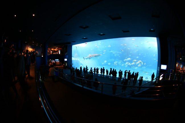 IMG 2378 750x500 พิพิธภัณฑ์สัตว์ทะเล ชูราอิมิ (Churaumi Aquaium) แห่งโอกินาวา (Okinawa)