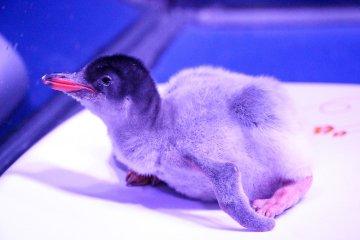 """ตะมุตะมิ! ซีไลฟ์ฯ ต้อนรับ """"ลูกเพนกวินเจนทูตัวแรก"""" ในประเทศไทย  พิเศษ! ร่วมตั้งชื่อเจ้าตัวน้อย...ลุ้นรางวัลใหญ่ ถึง 31 กรกฎาคม นี้เท่านั้น! 4 - Gentoo Penguin"""