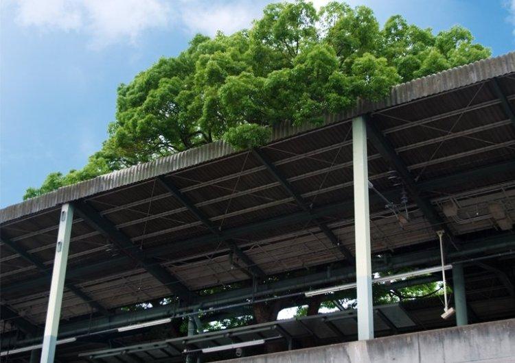 สถานีรถไฟญี่ปุ่นเจาะสถานีเพื่อรักษาต้นไม้อายุ 700 ปี 17 - tree