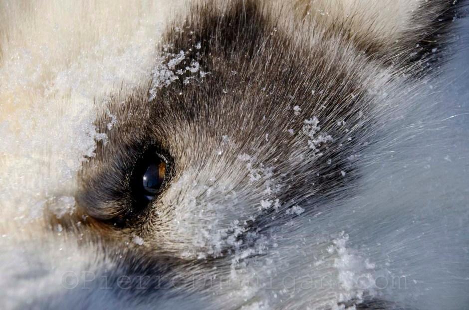 sled dog  Nunavik  Ivakkak