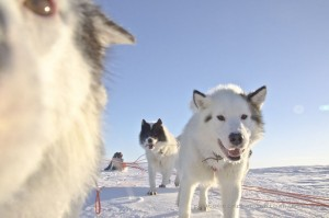 Nunavik Baie-d'Hudson Inuit Dogs Race