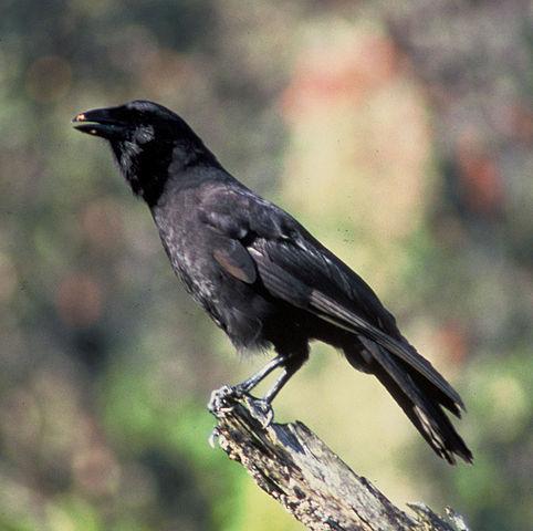 482px-corvus_hawaiiensis_fws