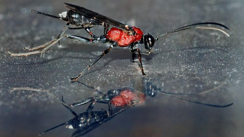 I Parassitoidi: a metà strada tra parassiti e predatori