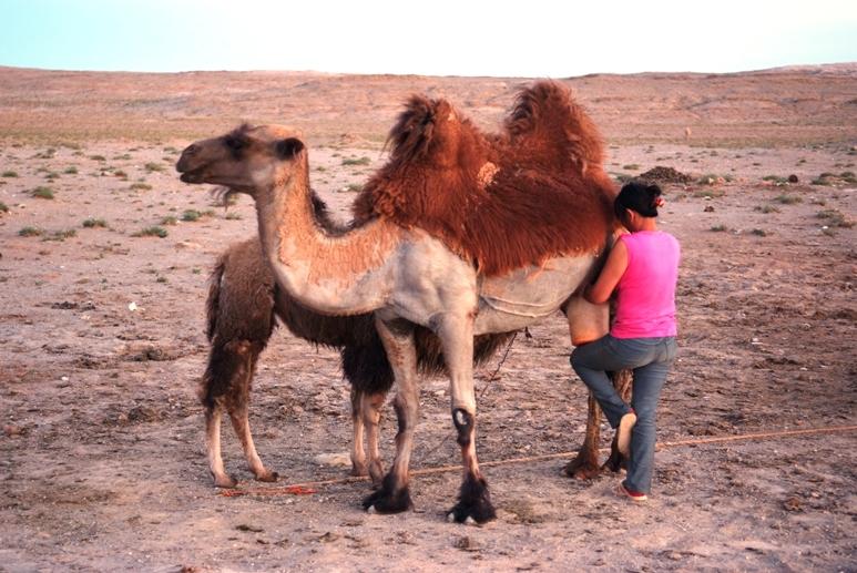 Resultado de imagen para los pastores astutos engañan a las madres a la hora del ordeño presentándoles una figura forrada con piel de cría de camello.