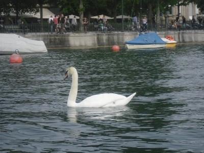 Zurich lake and swans
