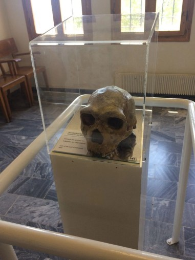 A human skull found in the Petralona Cave, Greece displayed in the museum on the property where the cave is located.