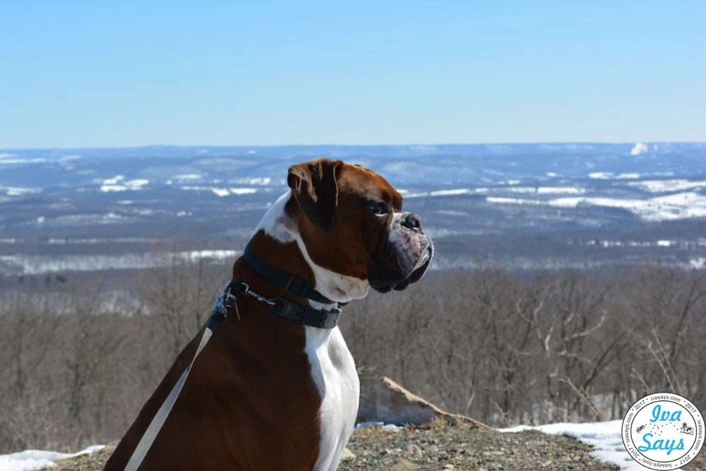 Parker my Boxer dog at High Point Monument in High Point State Park in Sussex, NJ