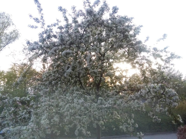 albero in fiore fotografato a ora di cena, in olanda ad aprile