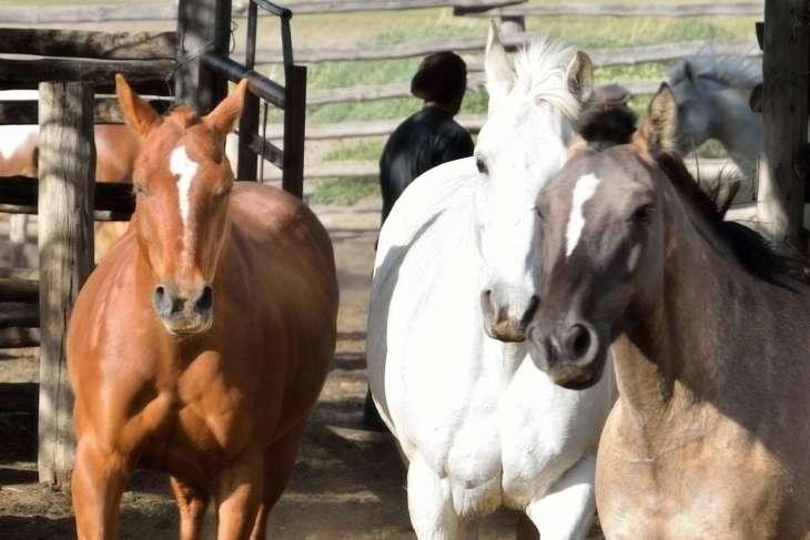 cavalli selvaggi della pampa