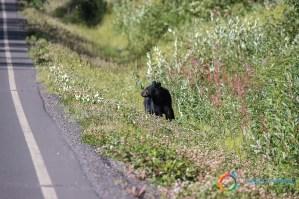 Orsi sulla Stewart Cassiar Highway